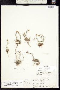 Boechera gunnisoniana image