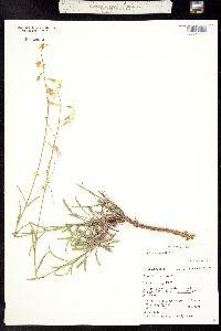 Boechera formosa image
