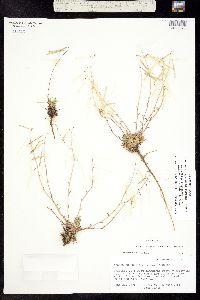Boechera oxylobula image