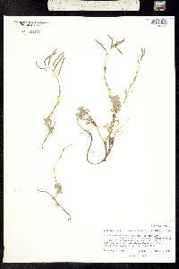 Image of Boechera lemmonii