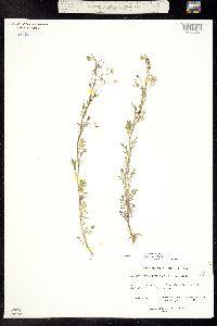 Image of Cardamine pensylvanica