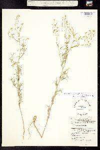 Descurainia incisa subsp. incisa image