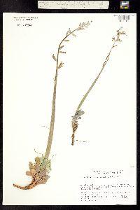 Image of Caulanthus crassicaulis