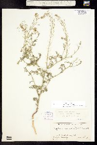 Descurainia pinnata subsp. halictorum image