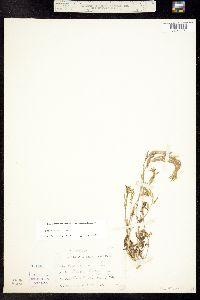 Draba aurea image