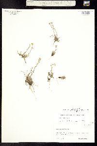 Image of Draba cana