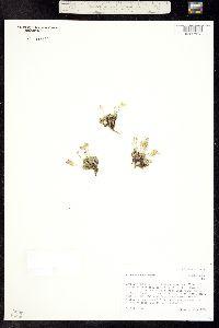 Image of Draba globosa