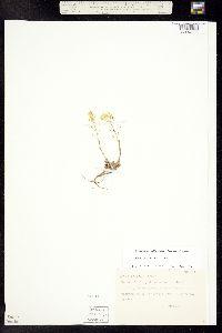 Draba helleriana image