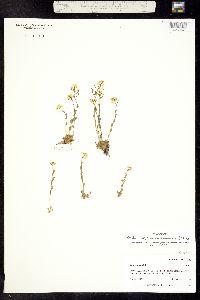 Image of Draba malpighiacea