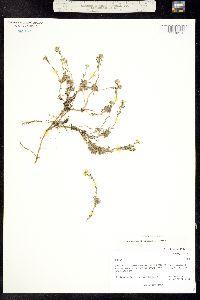 Image of Draba streptobrachia
