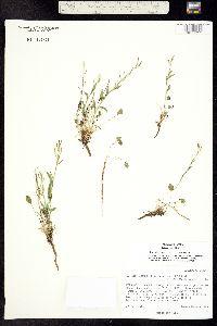 Image of Eutrema edwardsii
