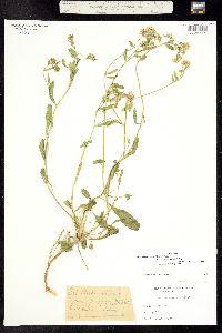 Lepidium crenatum image