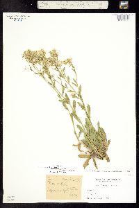 Image of Lepidium crenatum