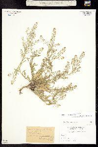 Lepidium ramosissimum image
