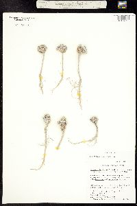Physaria congesta image