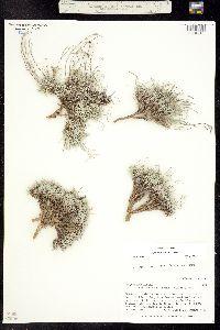 Lesquerella parvula image