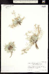 Physaria arenosa image