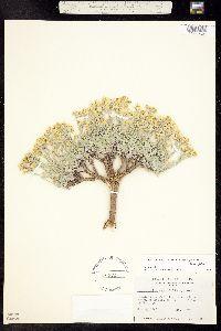 Lesquerella ovalifolia image