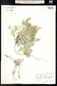 Physaria parviflora image