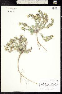 Physaria pruinosa image