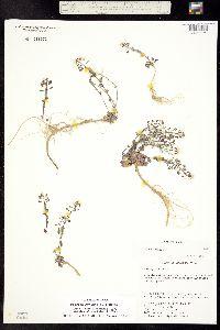 Image of Noccaea montana