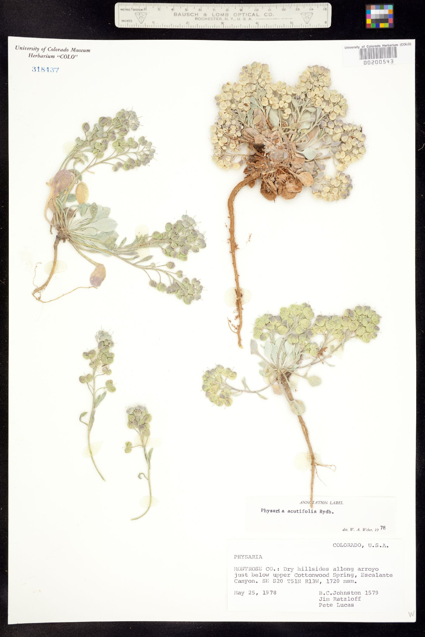 Physaria image