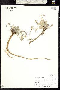 Physaria alpina image