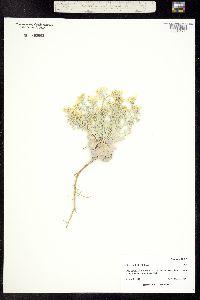 Physaria bellii image