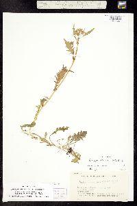 Image of Rorippa palustris