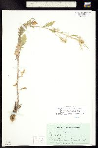 Rorippa teres image