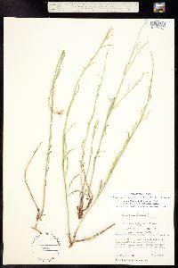 Sisymbrium linifolium image