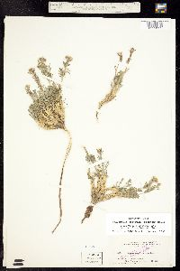 Smelowskia calycina image