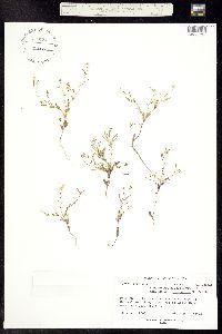 Thellungiella salsuginea image