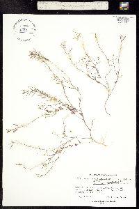 Image of Eutrema salsugineum