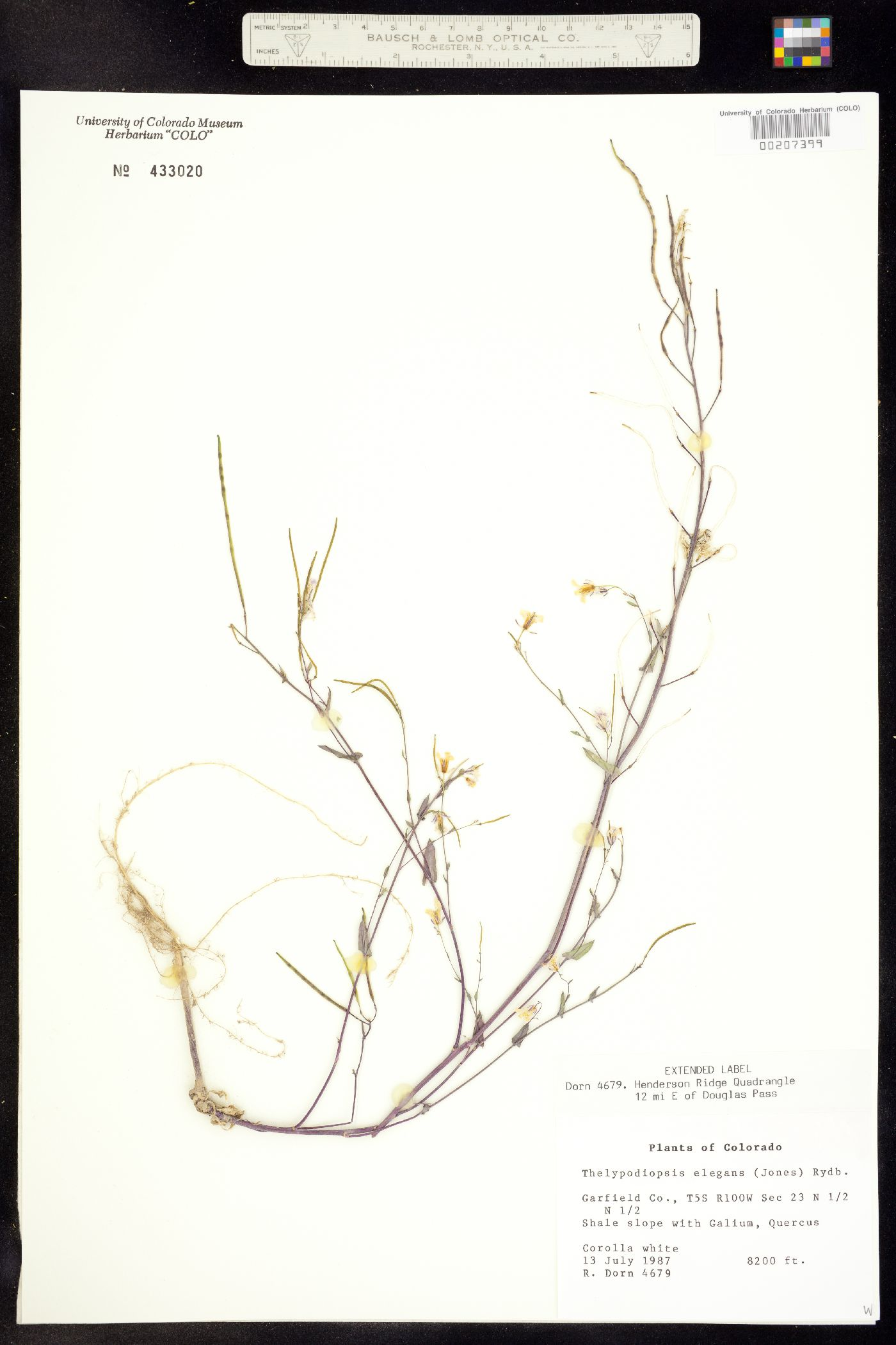 Thelypodiopsis image