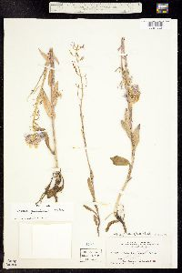 Image of Thelypodium paniculatum