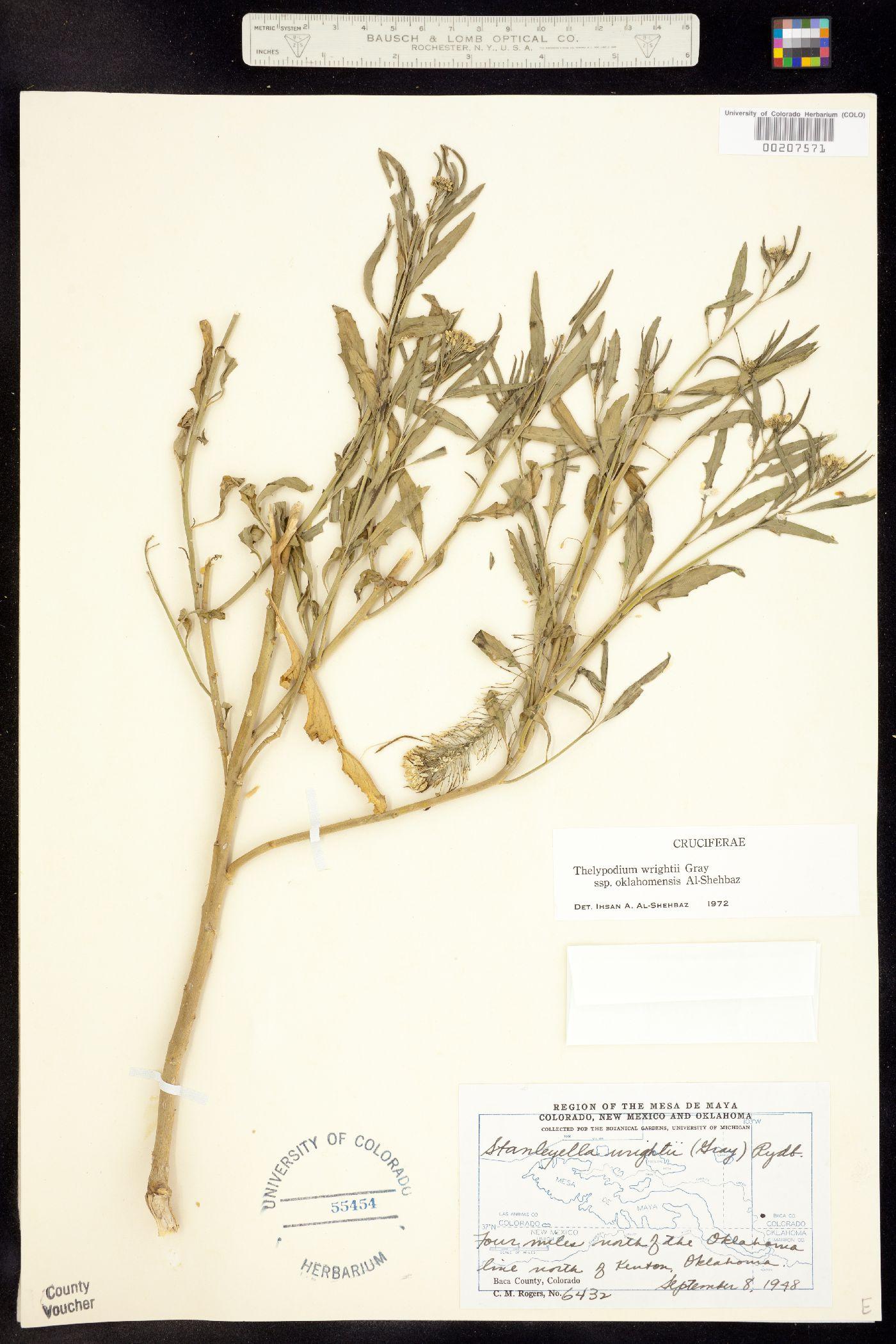 Thelypodium wrightii ssp. oklahomensis image