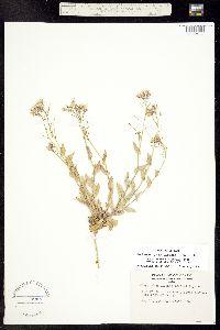 Thelypodiopsis elegans image