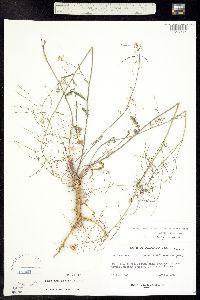 Image of Thelypodium laxiflorum