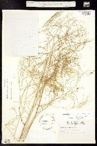 Thelypodium laxiflorum image
