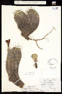 Echinocereus coccineus var. coccineus image