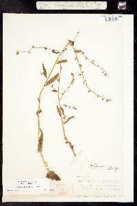 Hackelia gracilenta image