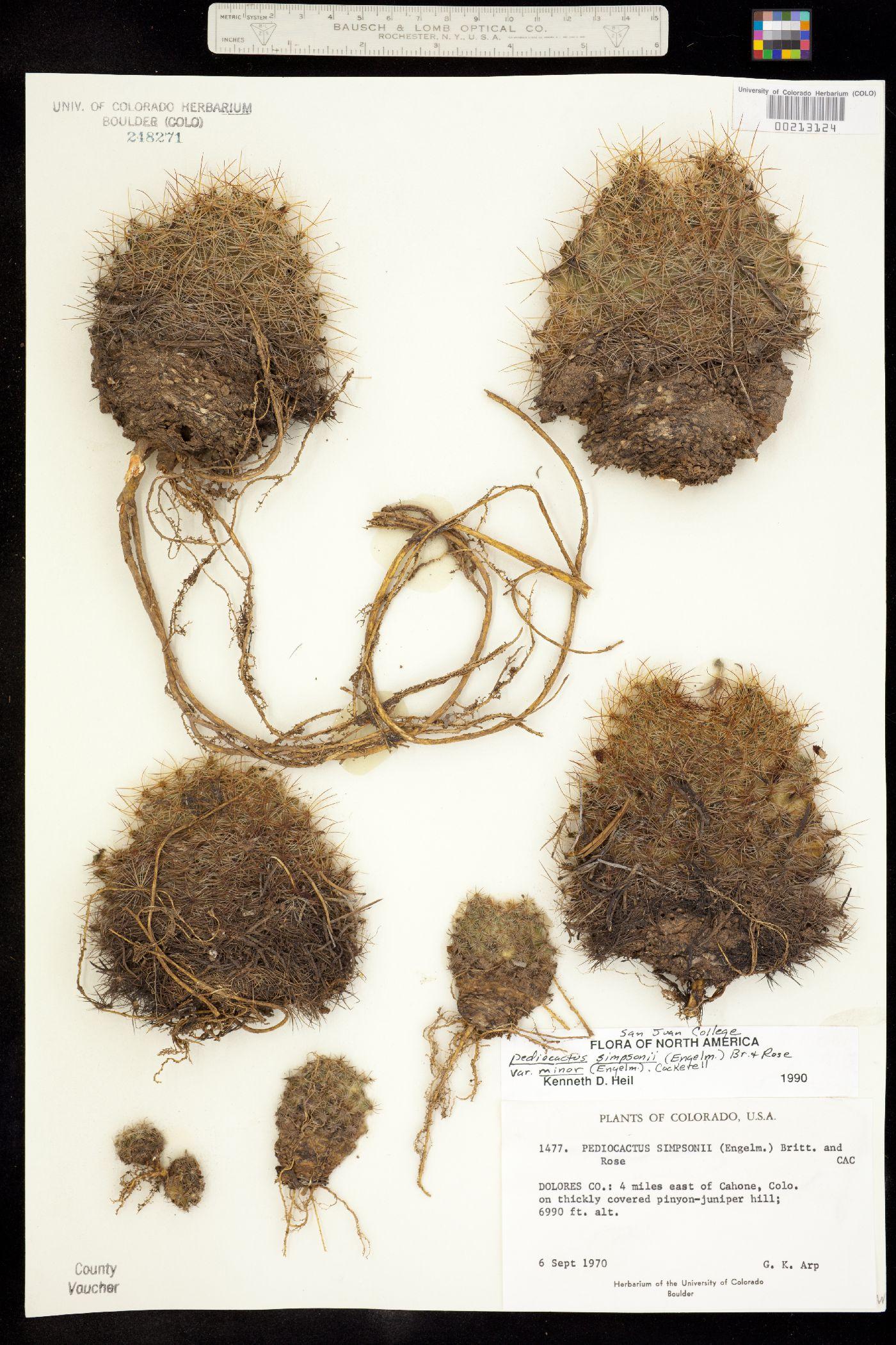 Pediocactus simpsonii var. minor image