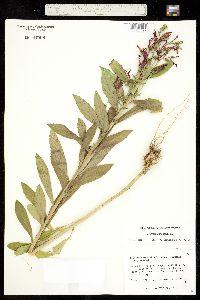 Lobelia cardinalis subsp. graminea image