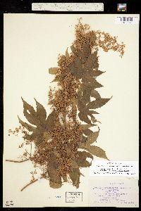 Humulus lupulus var. lupuloides image