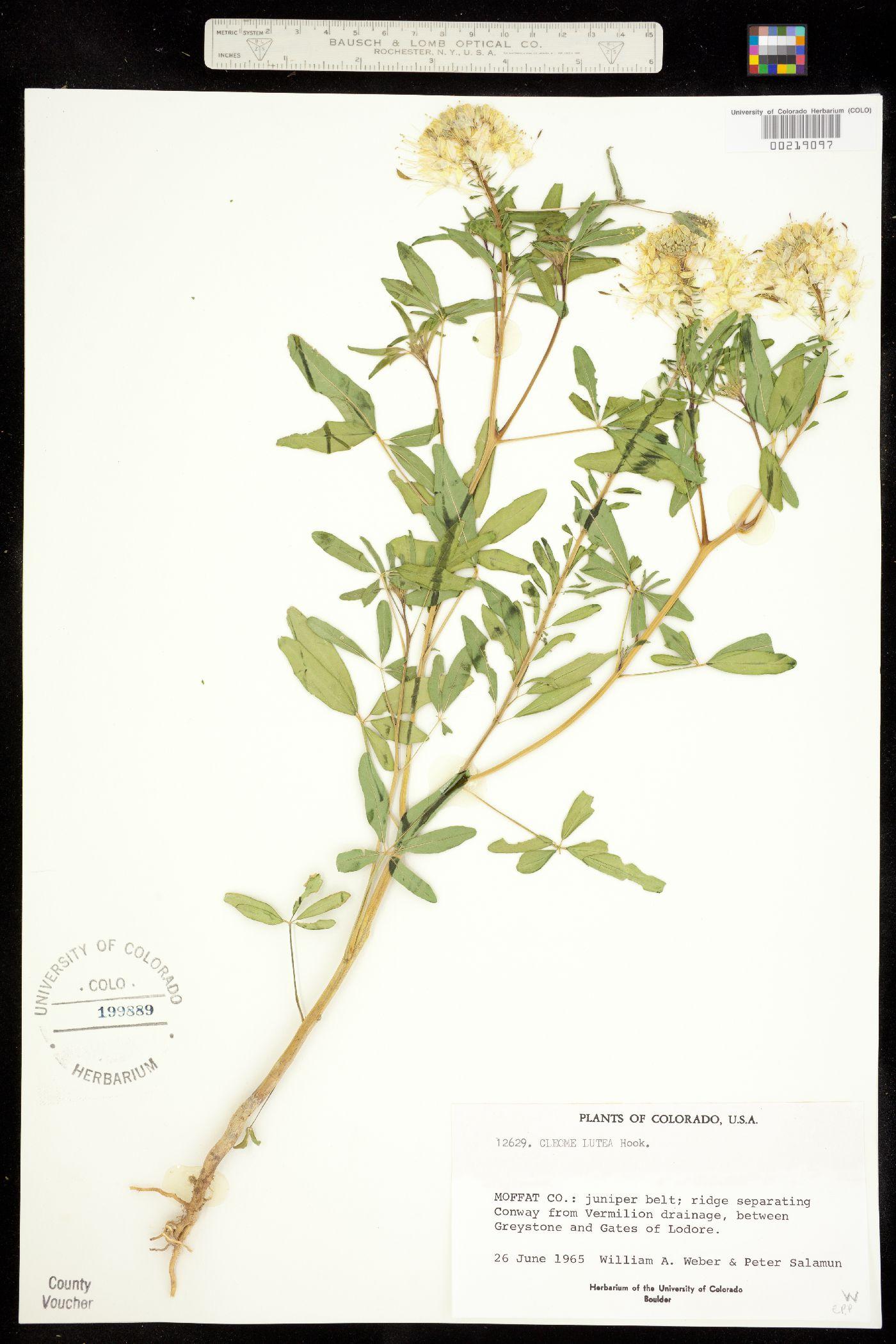 Capparaceae image