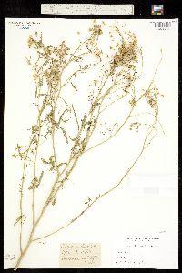 Image of Cleomella angustifolia