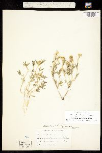 Image of Cleomella palmerana