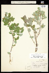 Image of Symphoricarpos albus
