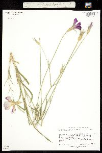 Image of Agrostemma gracilis